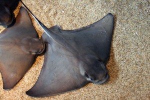 Batrays and Everything About them