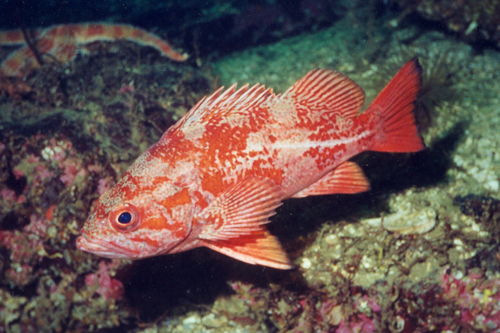 How to Catch Rockfish Picture