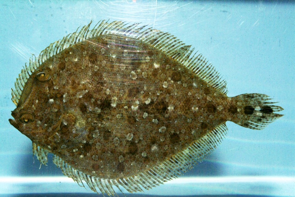 How_to_Catch_Flounder
