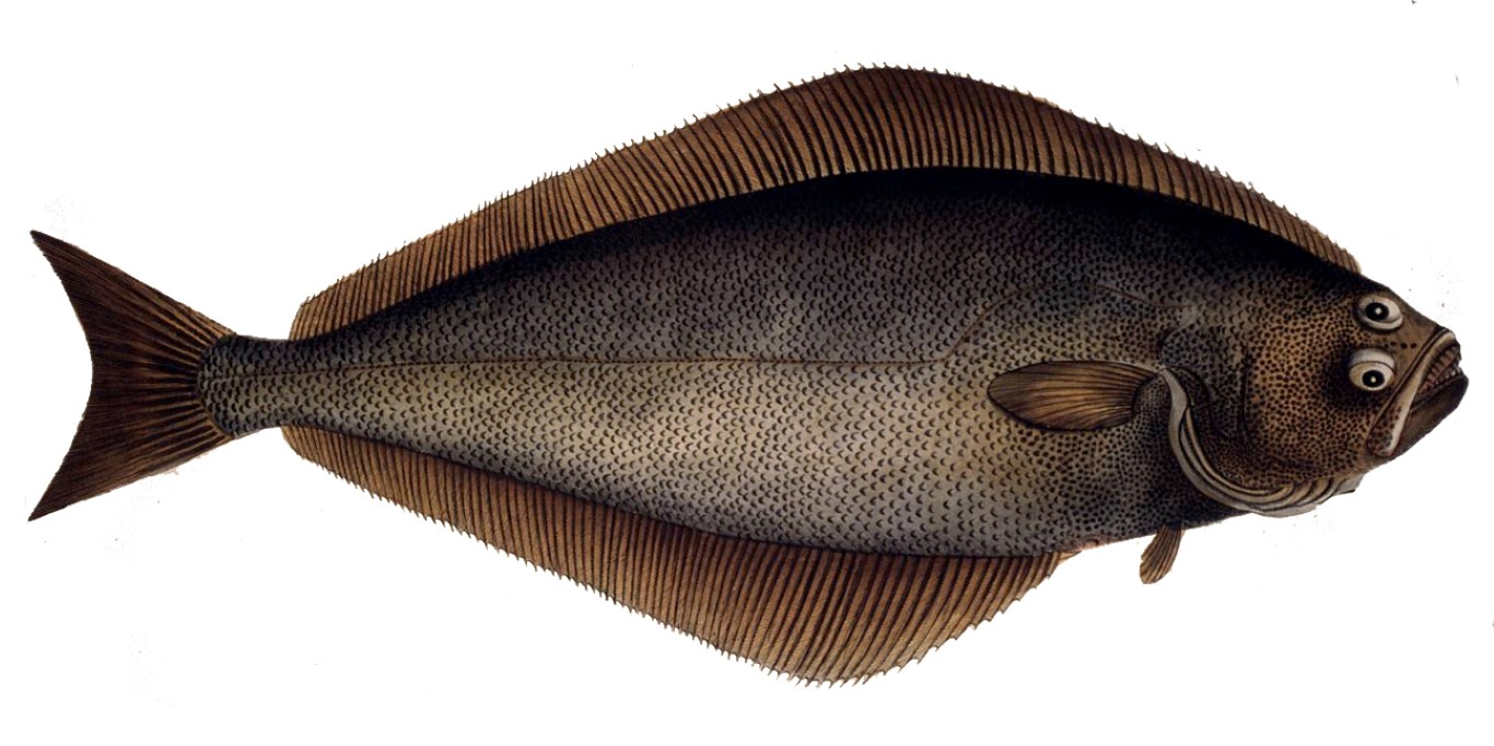 How_to_Catch_Halibut