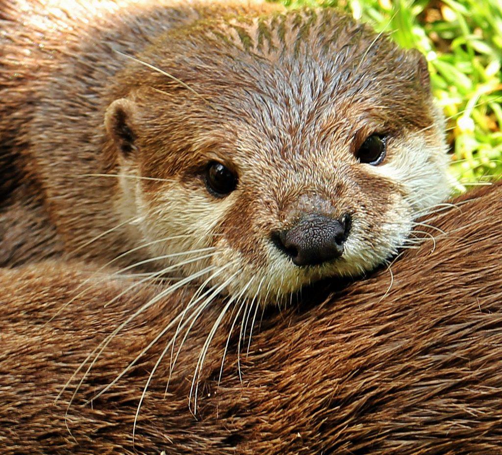 Otter Fishing 2
