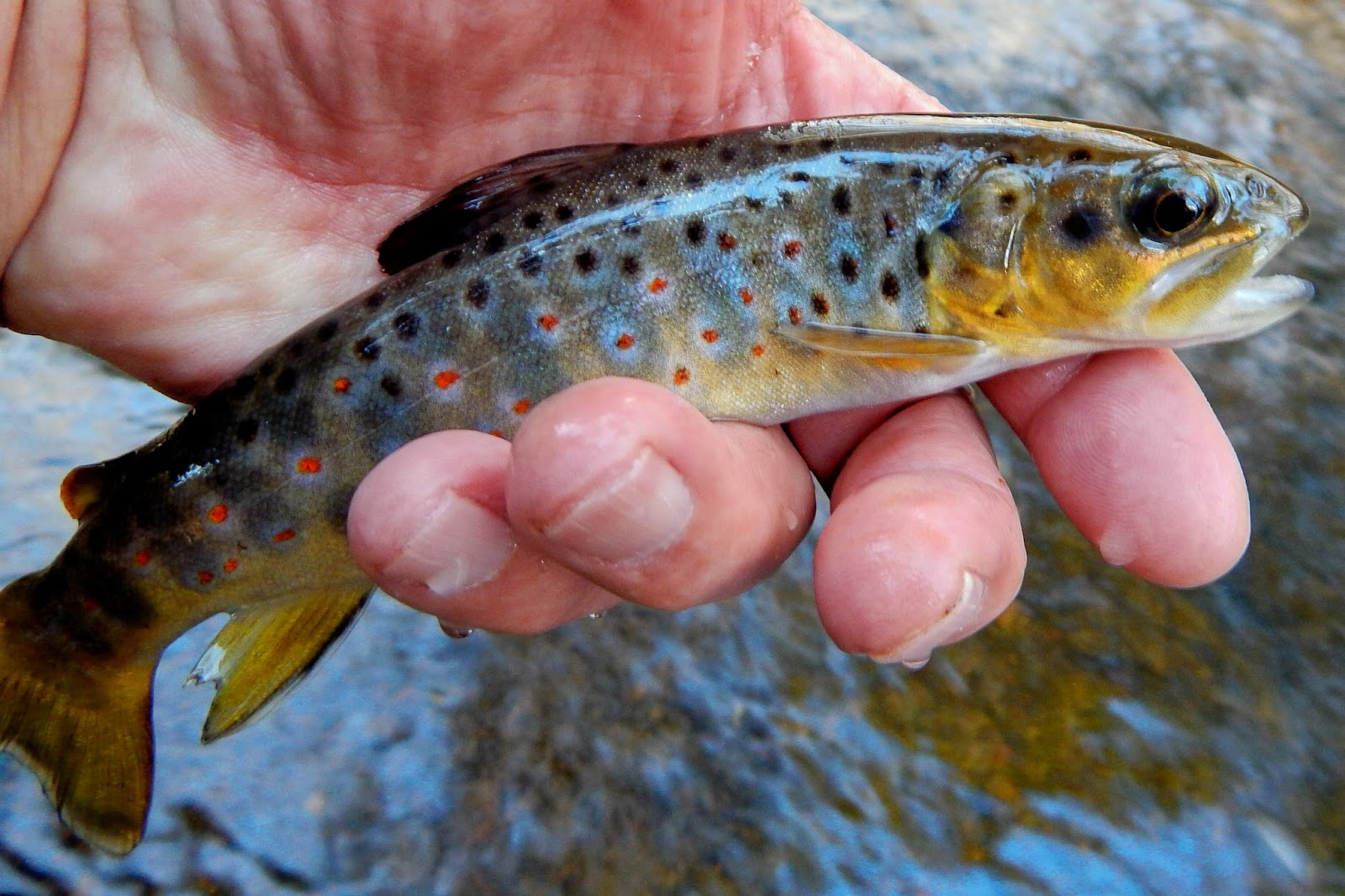 brown trouts eyesight
