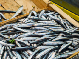 Anchovy Bait