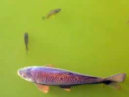 Mud Sucker Fish