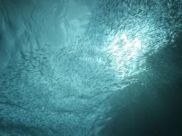 Bunker Bait Fish