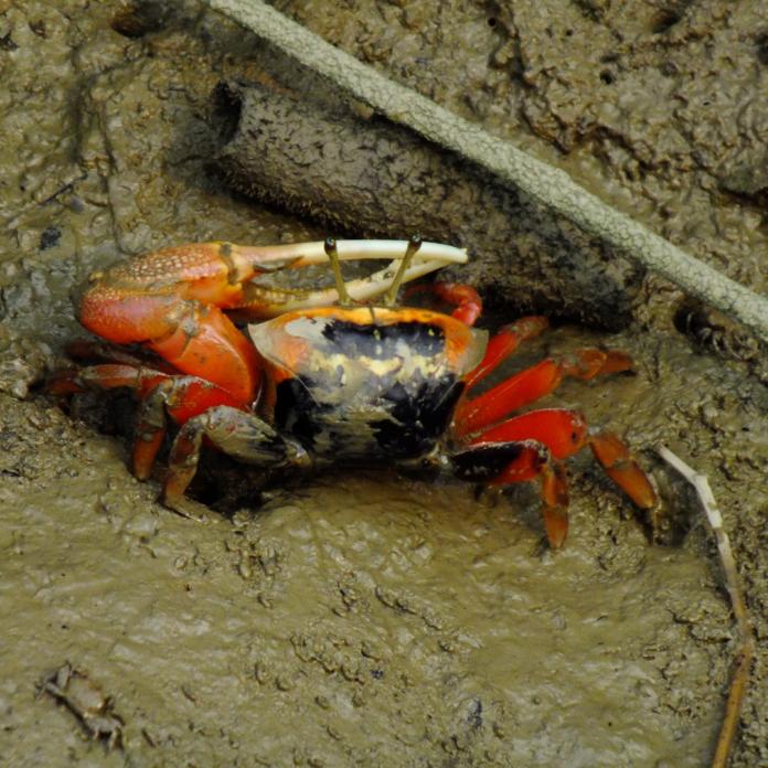 Mud Crab USA