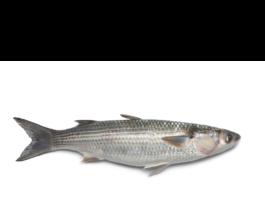 Mullet as Fish Bait